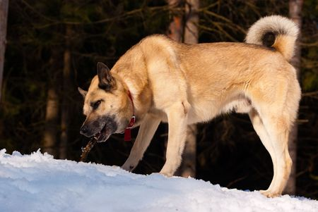West Siberian Laika with a stick in winter wood photo