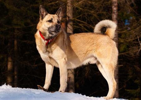 West Siberian Laika in winter forest photo
