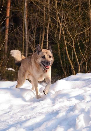 West Siberian Laika running in winter forest photo
