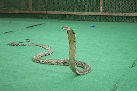 King Cobra on a snake show, in koh samui, thailand photo