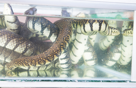 sea snake: A lot of black and white sea snake, in a aquarium