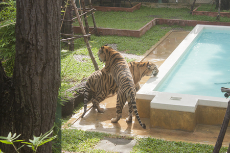 fryer: Tigers playing at a zoo in phuket, Thailand
