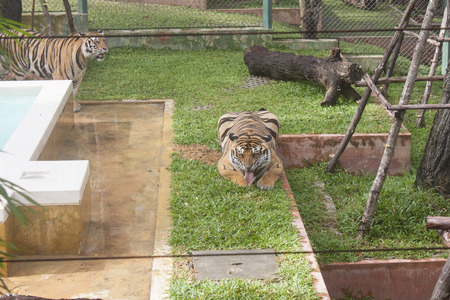 Tigers at a zoo, in Phuket, Thailand