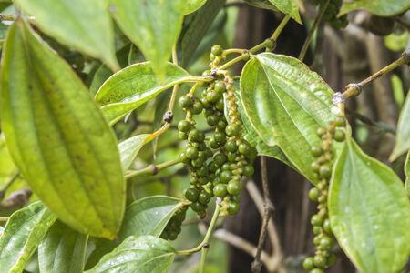 breen: Fresh breen black peppercorns on a pepper plant