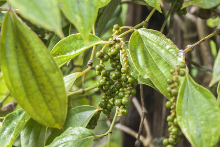 breen: Fresh Breen pepe nero su una pianta del pepe