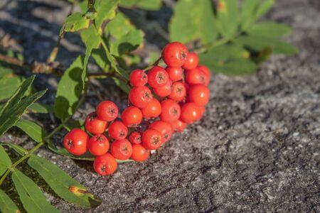 sorbus: Red, flavorful Rowan berries, on stone ground Stock Photo