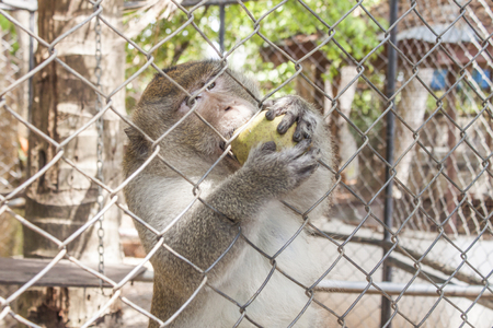 cage gorilla: Monkey trying to get a mango, through the cage