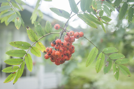 Rowanberrys hanging from a tree, in a garden photo