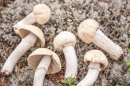 Young white gypsy mushrooms, deep in the forrest photo