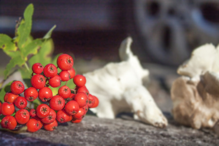european rowan: Red rowan berries and a white polyphore mushroom