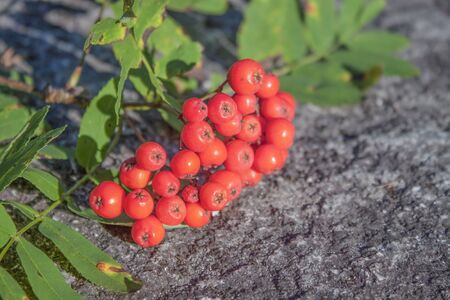 flavorful: Red, flavorful Rowan berries, on stone ground Stock Photo