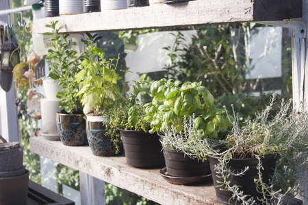 herb garden: Fresh herbs in the greenhouse, including curry, basil, lemon thyme, mint and salvia