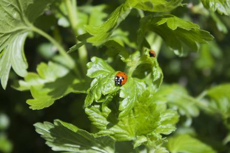gooseberry bush: One lonely ladybug, on a gooseberry bush