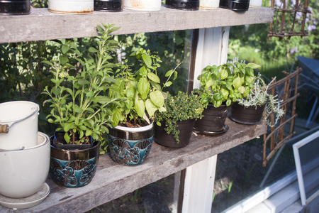 herb garden: Salvia, mint, lemon thyme, basil and curry herbs, in a greenhouse Stock Photo