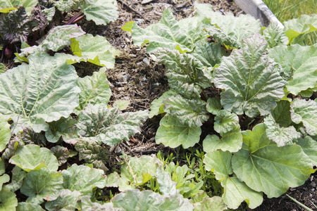 rhubarb: A green Rhubarb field, full of young, early fresh rhubarb Stock Photo