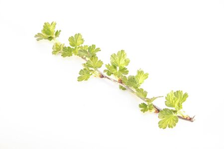 gooseberry bush: A gooseberry branch with earley, spring leaves, isolated
