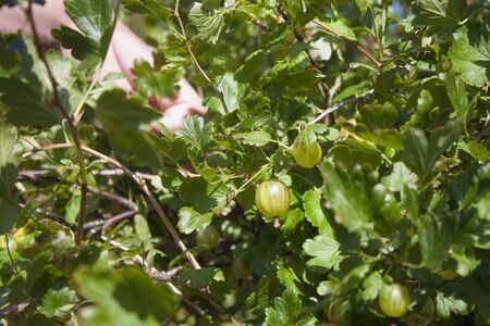gooseberry bush: Picking green gooseberries, from a gooseberry bush
