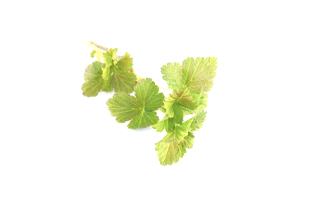 ribes: Earley, young, spring black currant ribes nigrum leaves, isolated on white background Stock Photo