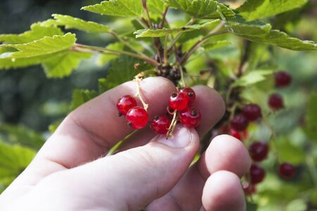 ribes: Hand picking red currants, ribes rubrum, in a garden