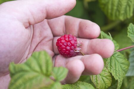 rubus: Hand picking rubus idaeus, raspberries, in the garden