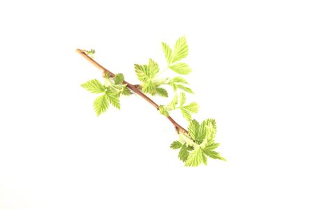 rubus: Earley,young, spring rubus blackberry leaves, isolated on white background