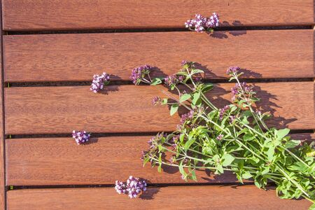 origanum: Pink Oregano, Origanum vulgare flower, on wooden background
