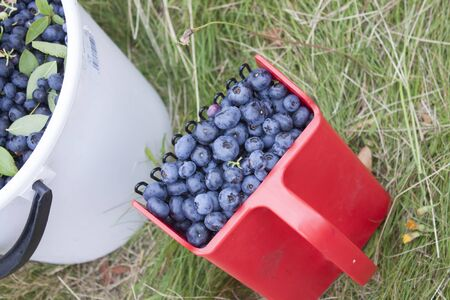 full filled: A full berry picker, filled with hand picked, blue bush blueberries, huckleberries or Vaccinium corymbosum