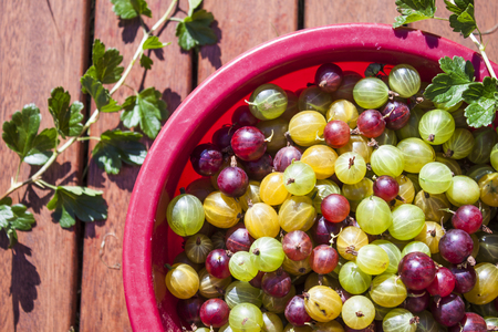 ribes: Gooseberries Ribes uva-crispa in red, green and yellow colors