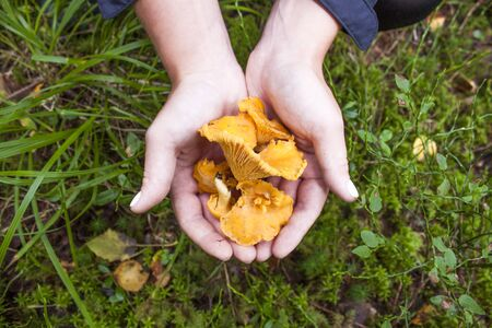 cantharellus: Two hands gathering yellow chanterelles, cantharellus in a forrest Stock Photo