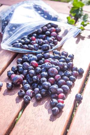 angustifolium: Picking bush blueberrys Vaccinium corymbosum, in a plastic bag