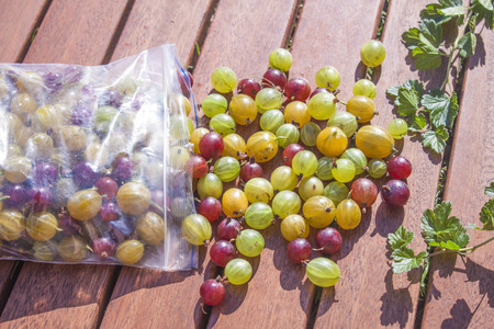 ribes: Picking Gooseberries ribes uva-crispa, in a plastic bag
