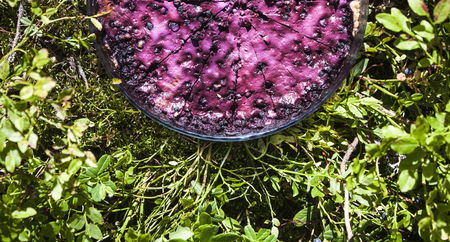blueberry pie: Whole blueberry pie, near vaccinium myrtillus berries and plants