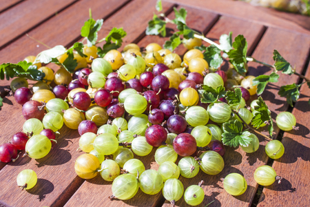 ribes: Yellow, green and red Ribes uva-crispa, gooseberries Stock Photo