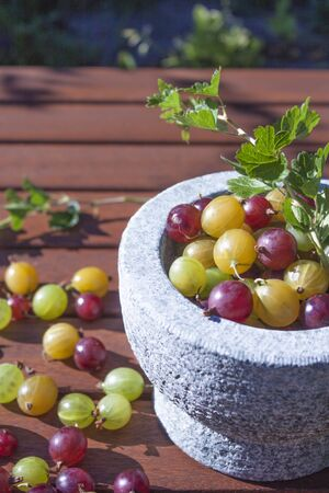 ribes: Ribes uva-crispa, red, yellow and green gooseberries, in a stone bowl