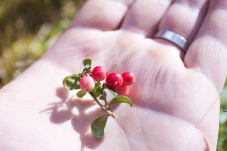mountain cranberry: Red lingonberry, vaccinium vitis-idaea on a hand