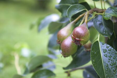 pyrus: Pyrus communis, pears on a plant, at a garden