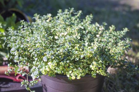ful: A pot ful of fresh lemon thyme, in the garden