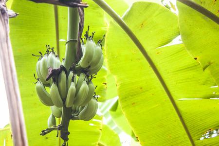 musa: A pile of green bananas,musa acuminata on a banana tree Stock Photo