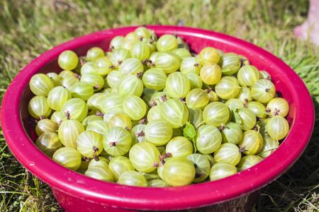 ribes: A box full of green gooseberries, ribes uva-crispa, in the garden