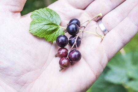 ribes: Black currant, Ribes nigrum on a mans hand Stock Photo