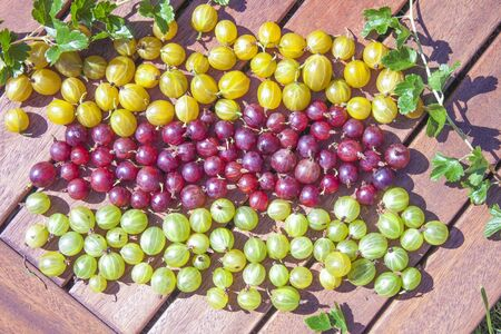 ribes: Gooseberries, ribes uva-crispa in tree different colors, yellow, red and green berries