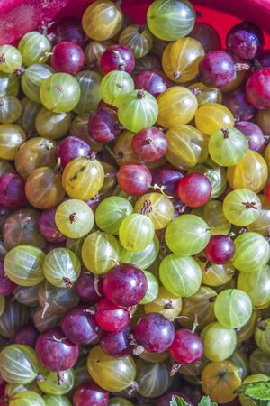 ribes: Red, yellow and green ribes uva-crispa gooseberries, in a bowl Stock Photo