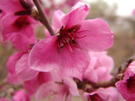 ali: Pink Blossom Stock Photo