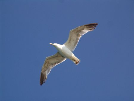 tanga: Seegull in Bospure ...  Archivio Fotografico