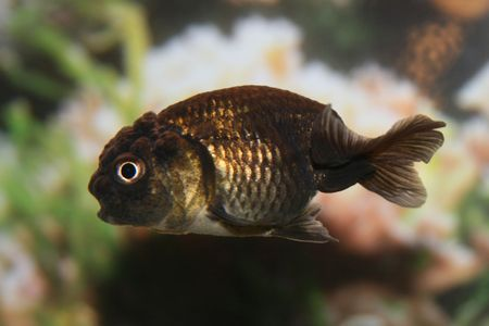 lionhead: Black lionhead goldfish. Stock Photo
