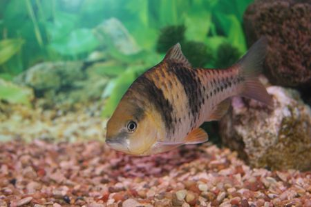 Spanner barb fish. Stock Photo - 1341272