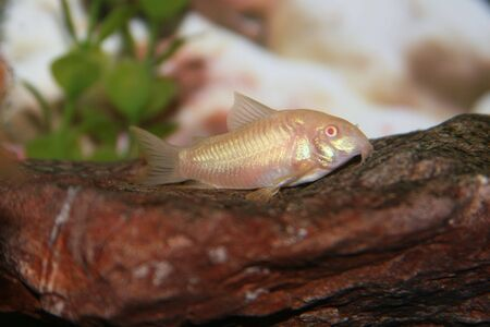 Corydora albino Stock Photo - 1358911