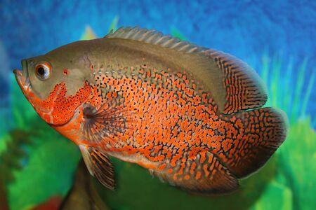 astronotus: Tiger oscar fish