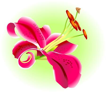 flor aislada: Flor de lirio rosa sobre fondo verde, vector Vectores