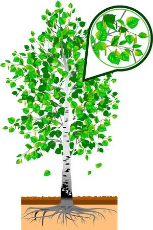 detached: abedul unifamiliar con hojas sobre un fondo blanco